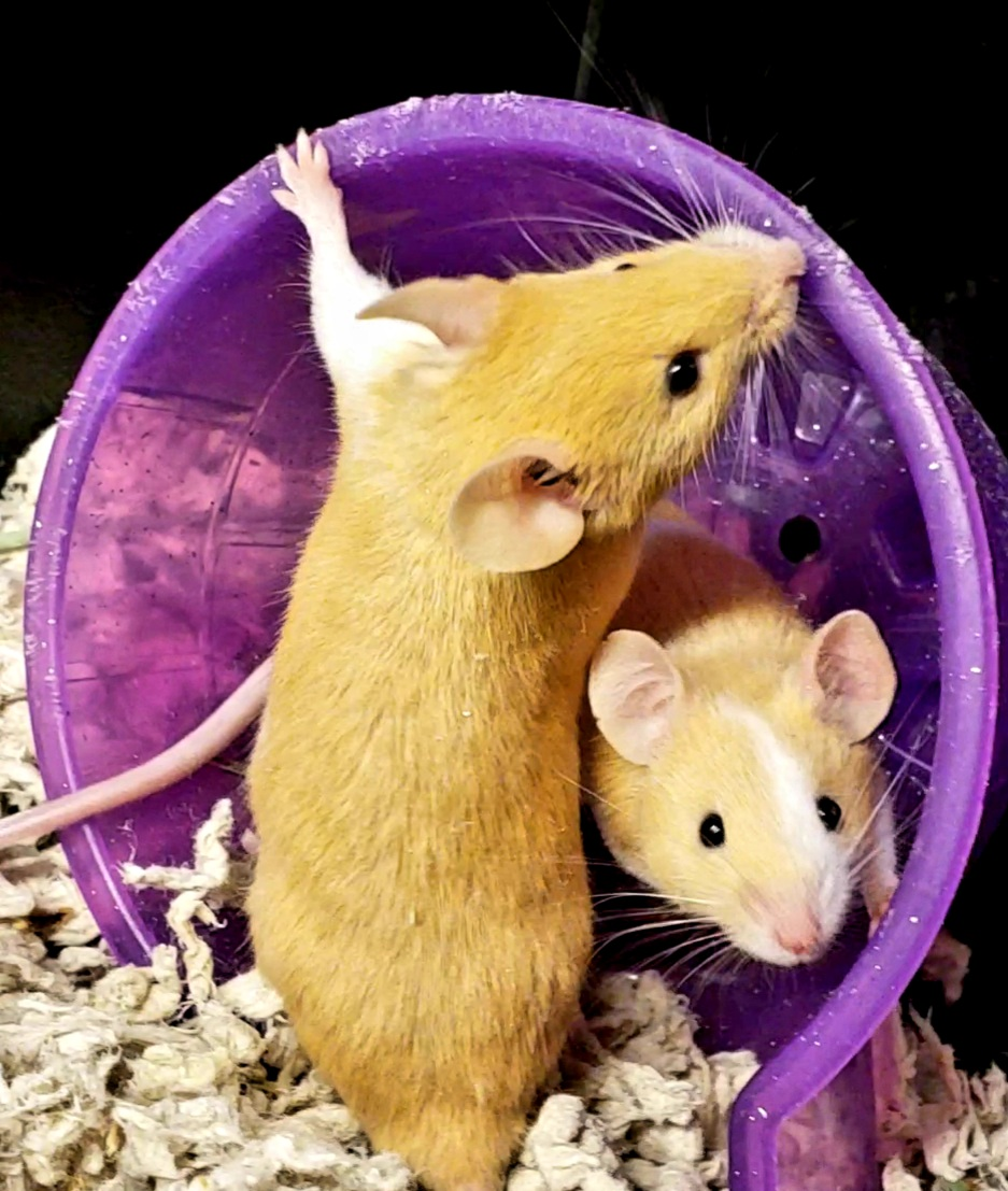 Two butterscotch and white mice are hanging out together in a purple igloo-shaped house.