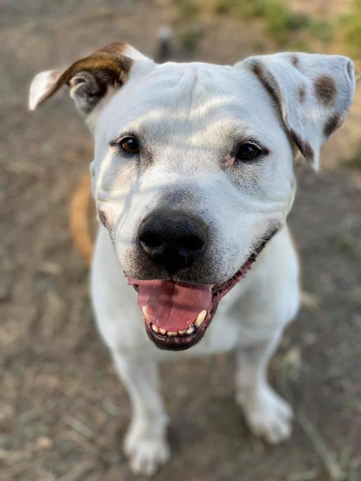 A cute white and brown dog named Rocco happily looks at the camera.