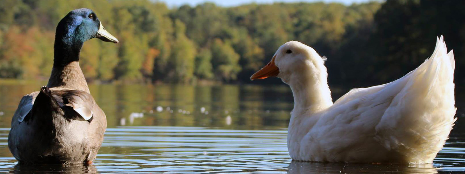 Ducks at Burke Lake Park by Tim Moore