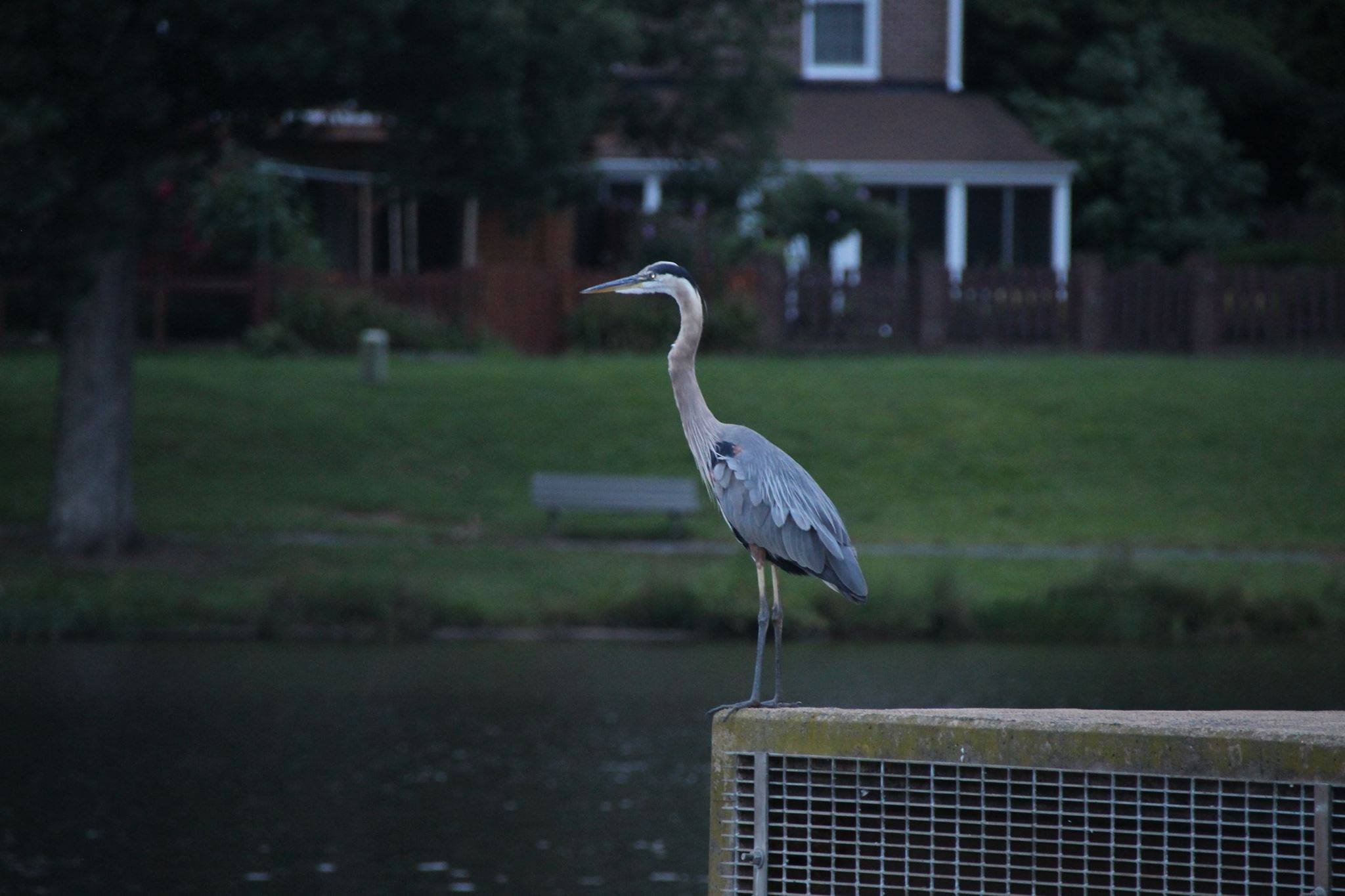 Heron at Lake Braddock. Photo by Tim Moore.