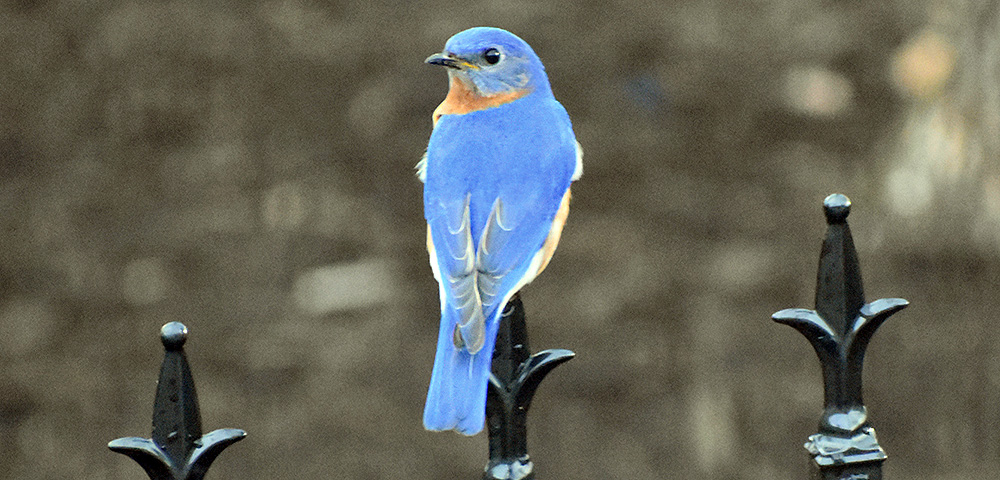 The Virginia Bluebird Society tells all about the lives of these beautiful native birds, and why they need conservation. Includes how to set up and monitor bluebird boxes.