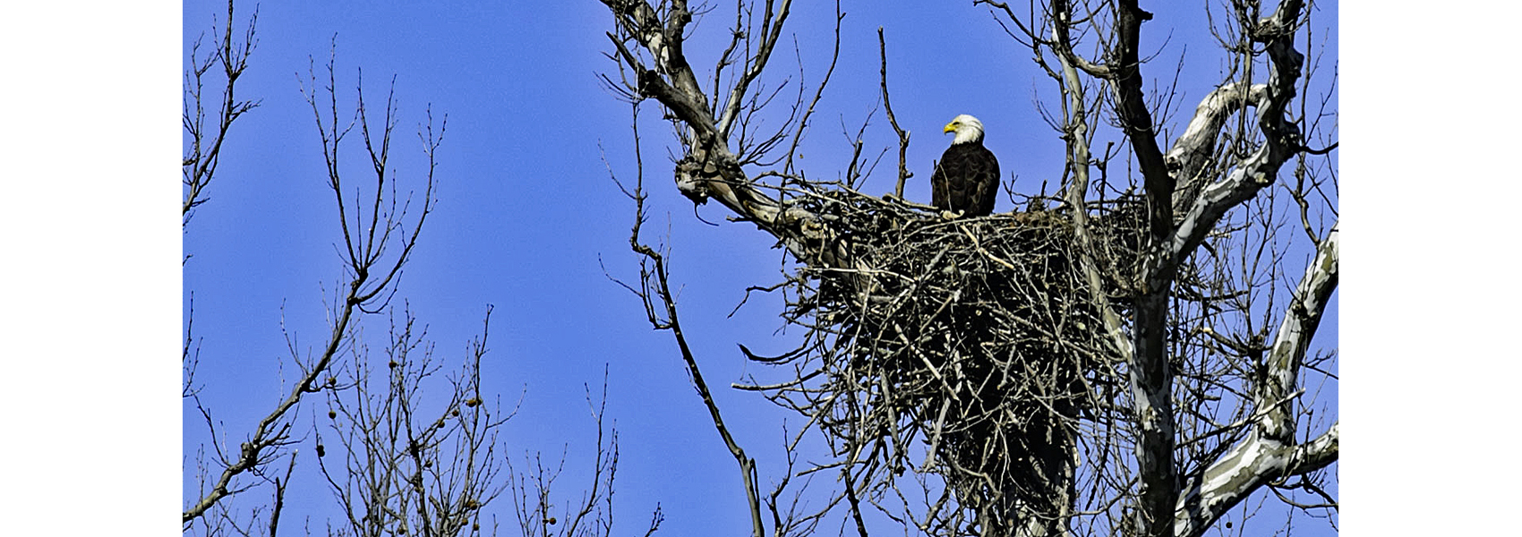 Bald eagle sitting on a nest