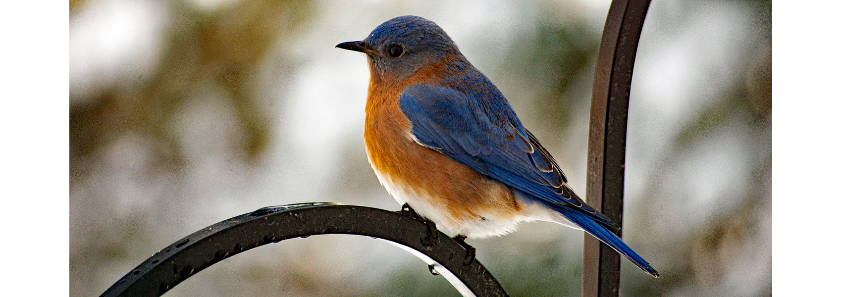 An Eastern bluebird sits on a bird feeder pole