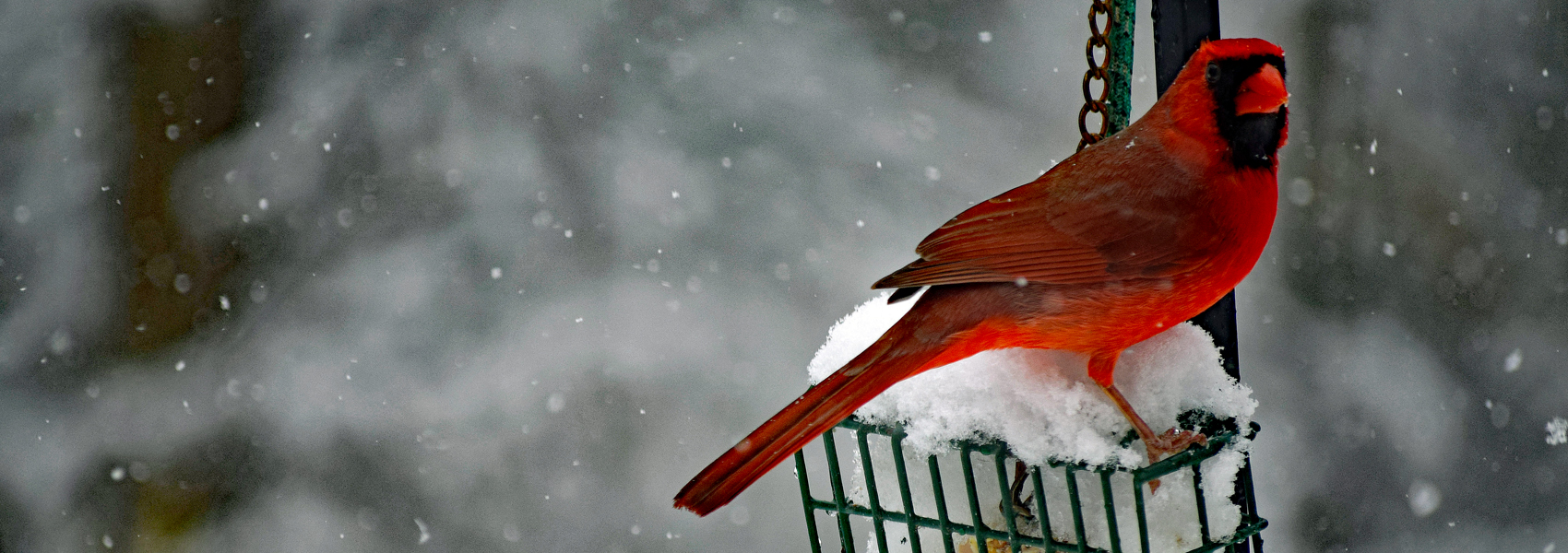 A Northern cardinal stands atop a bird feeder in snow