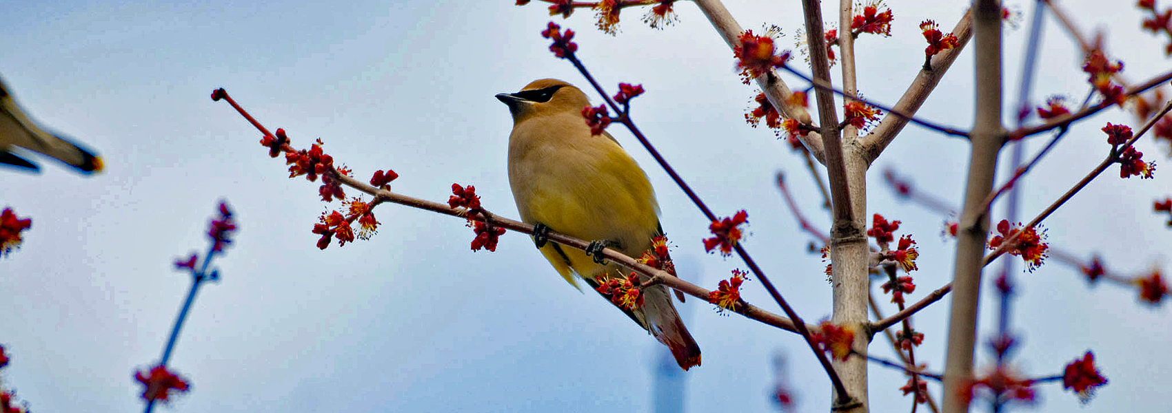 A cedar waxwing sits on a tree branch