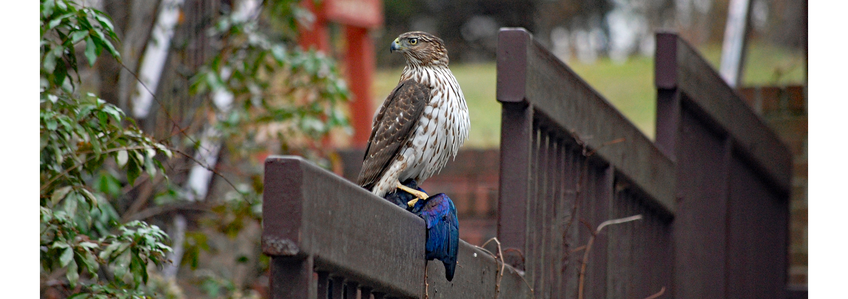 A young Cooper's hawk holding a grackle