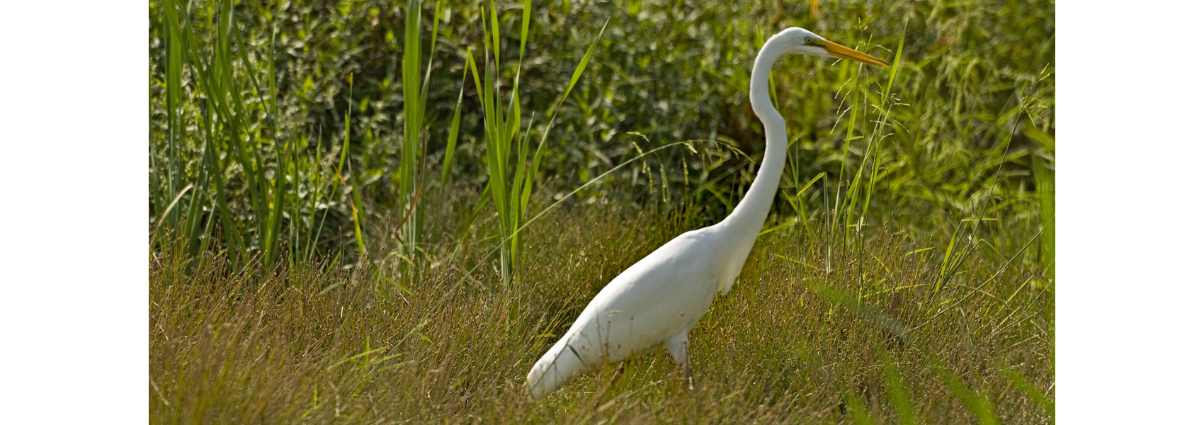 A wading Great Egret