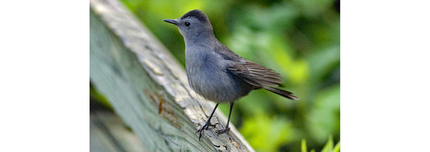 A gray catbird sits on a deck rail
