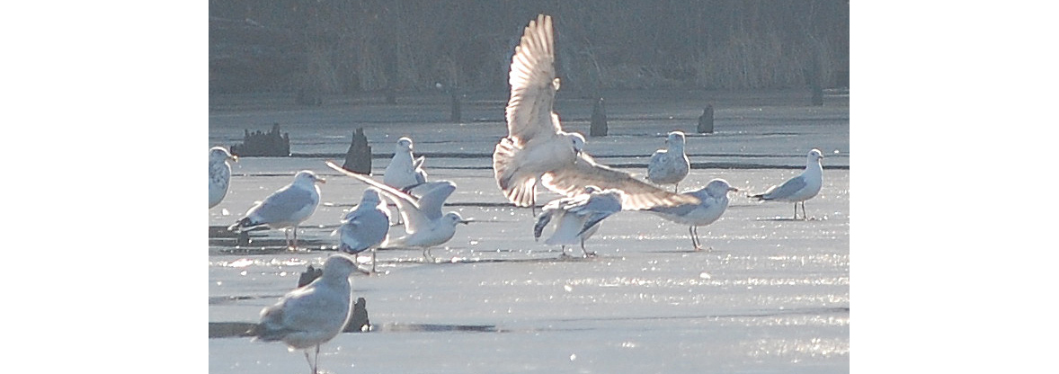 Gulls stand on ice at Lake Mercer