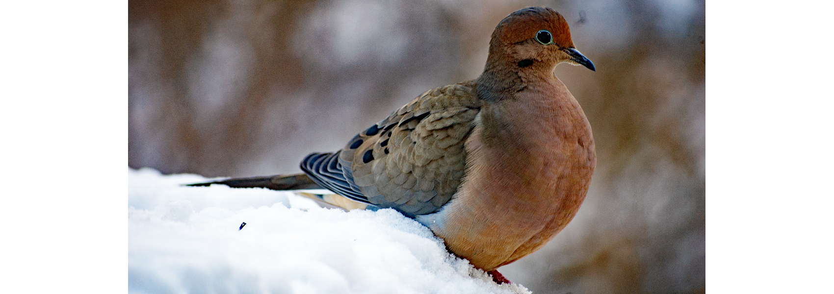 Mourning dove stands in snow