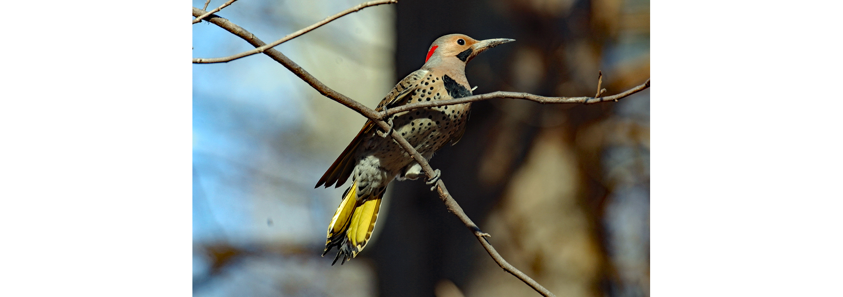 Northern flicker on a tree branch