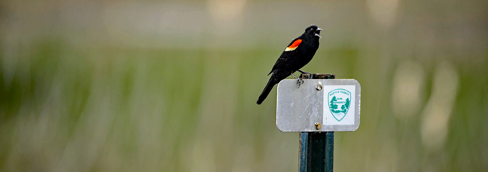 Redwing blackbird stands on a park sign in a field