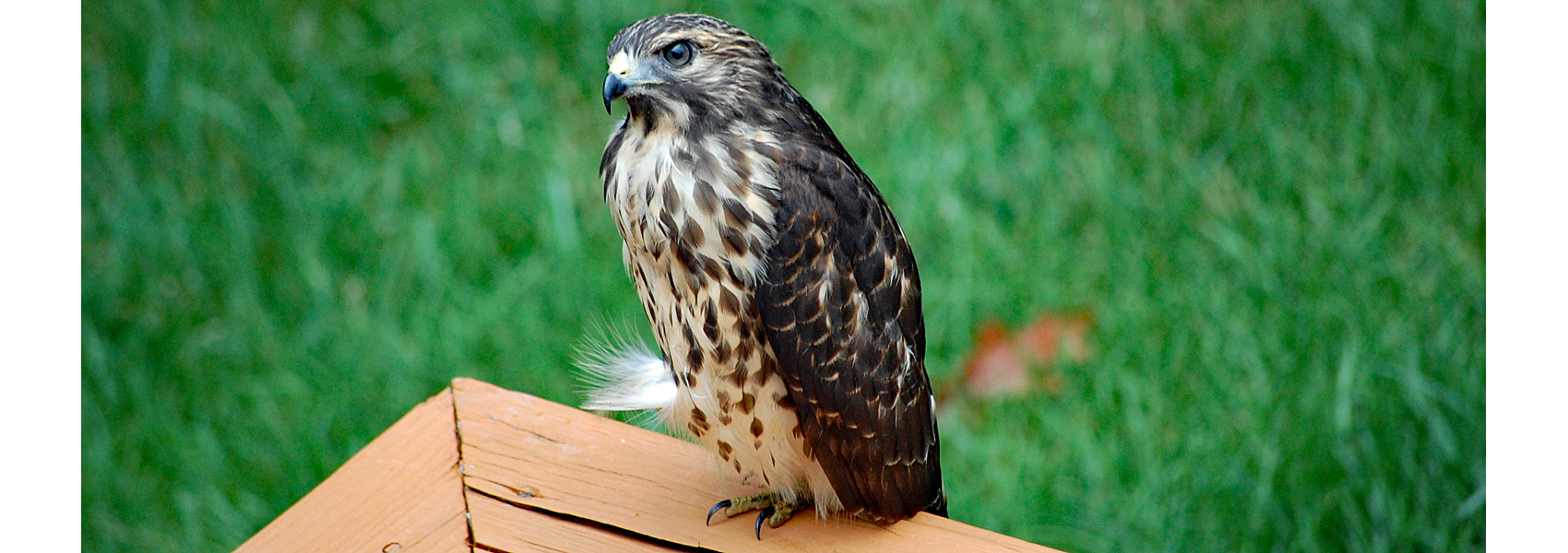 A Cooper's hawk sits on a deck rail