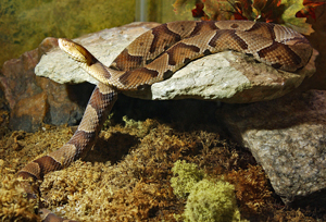 A copperhead
