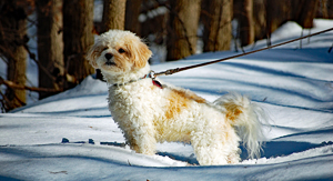 Small dog on a leash stands tall and at attention during a walk on a snowy path