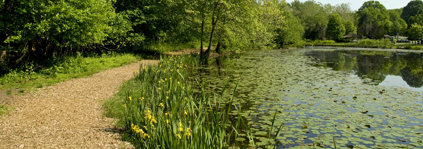 A trail runs next to Walney Pond. Flowers bloom along the pond's edge.