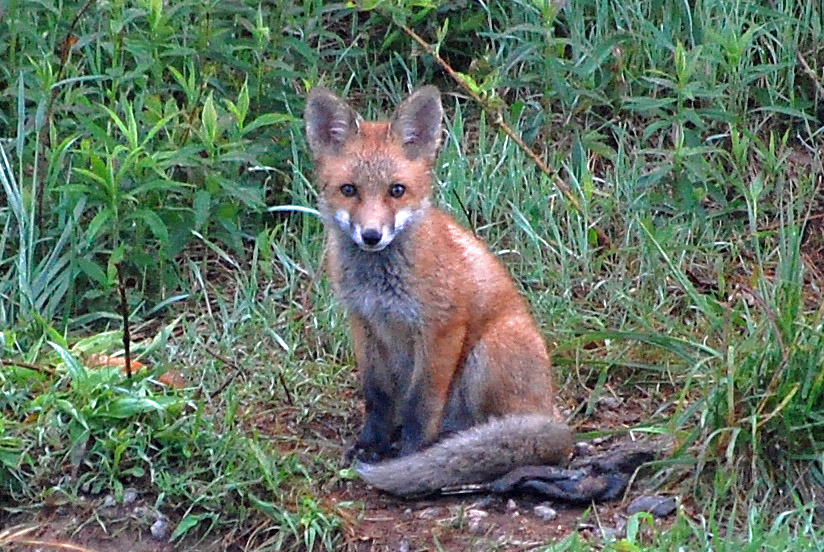 A red fox sits in a field and looks straight ahead