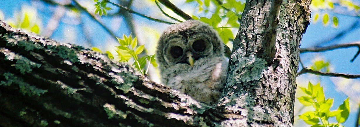 A baby barred owl