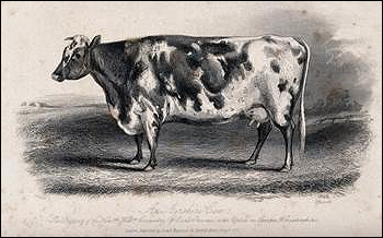 An Aryeshire cow