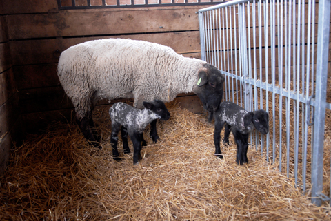 Suffolk the sheep and baby ram