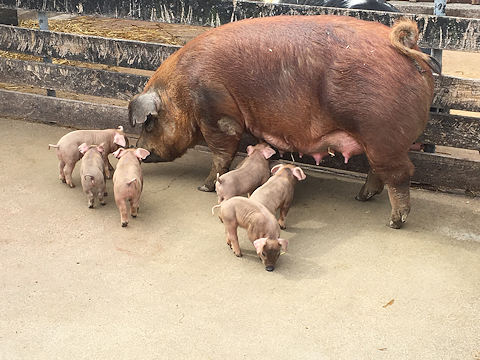 Lindsey Loham, delivered her first litter of piglets
