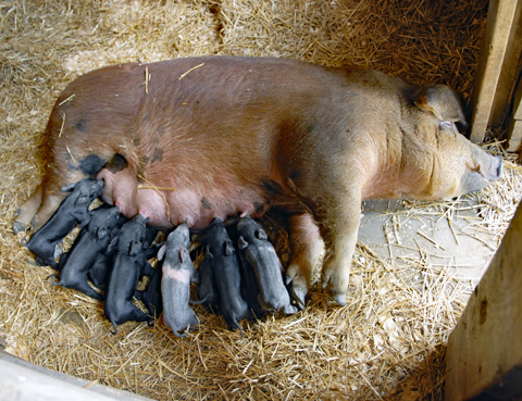 The sow Dolly with her litter