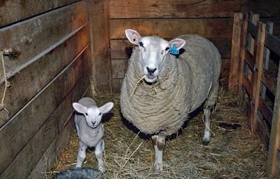 A ewe and her lambkin stand in a barn stall