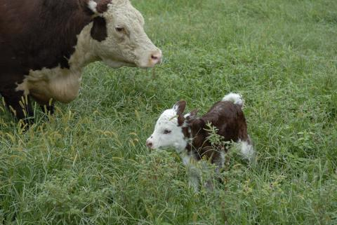 Florence, baby calf born Sept. 12