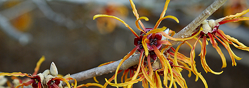 Witch hazel in bloom