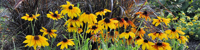 Rudbeckia and pennisetum in bloom