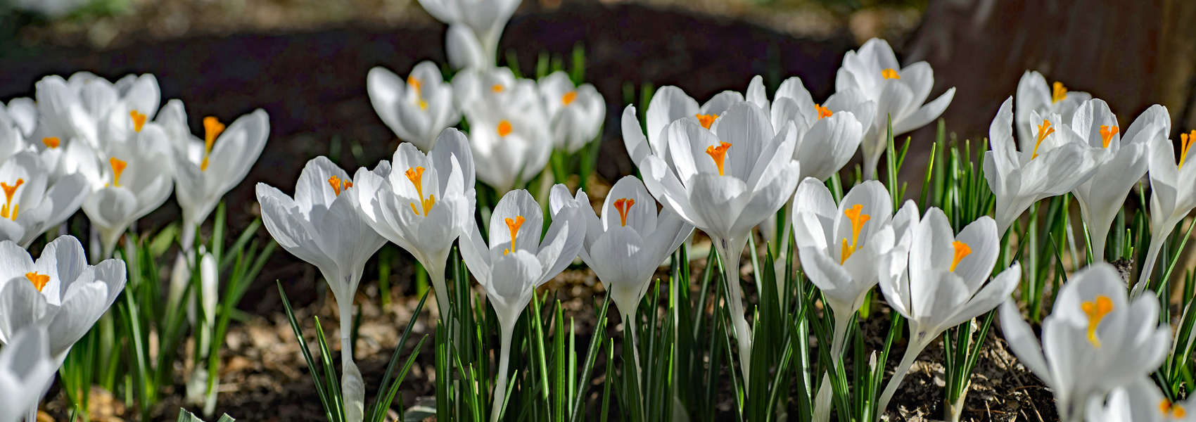 White crocus in bloom