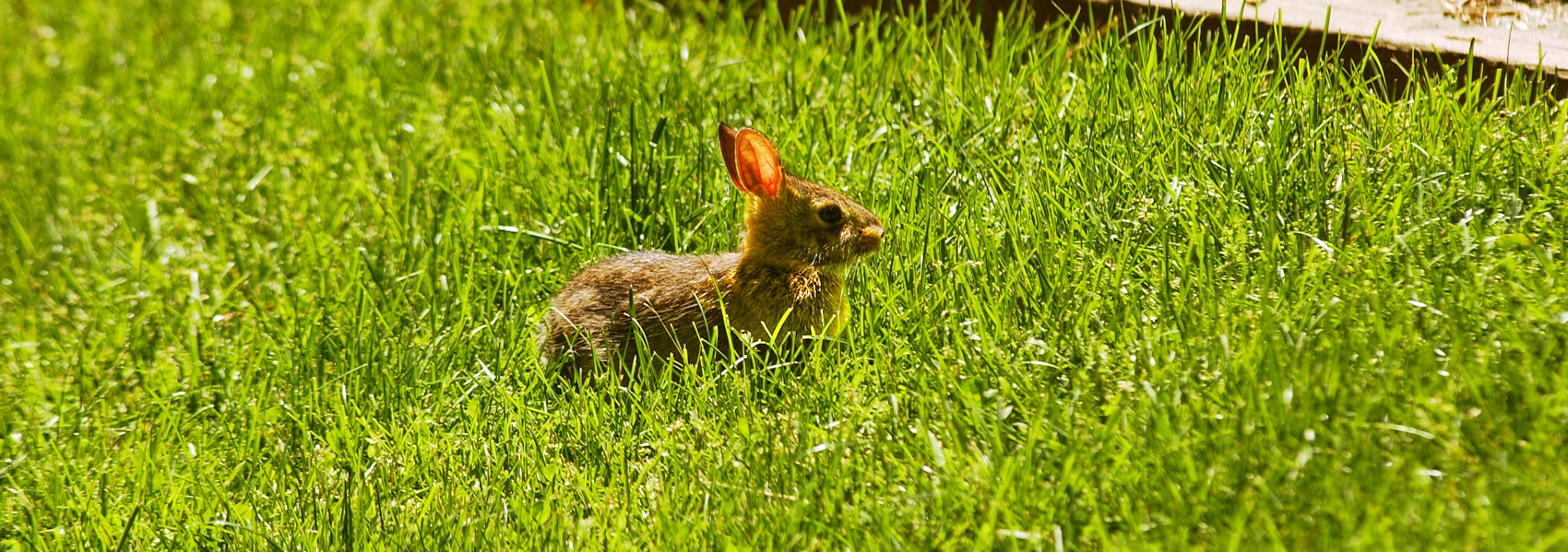 A rabbit stands in a patch of grass