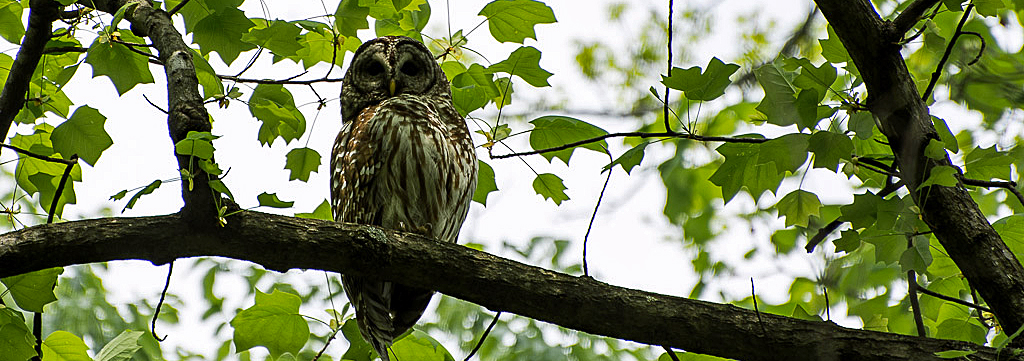 Barred owl sits on a tree branch