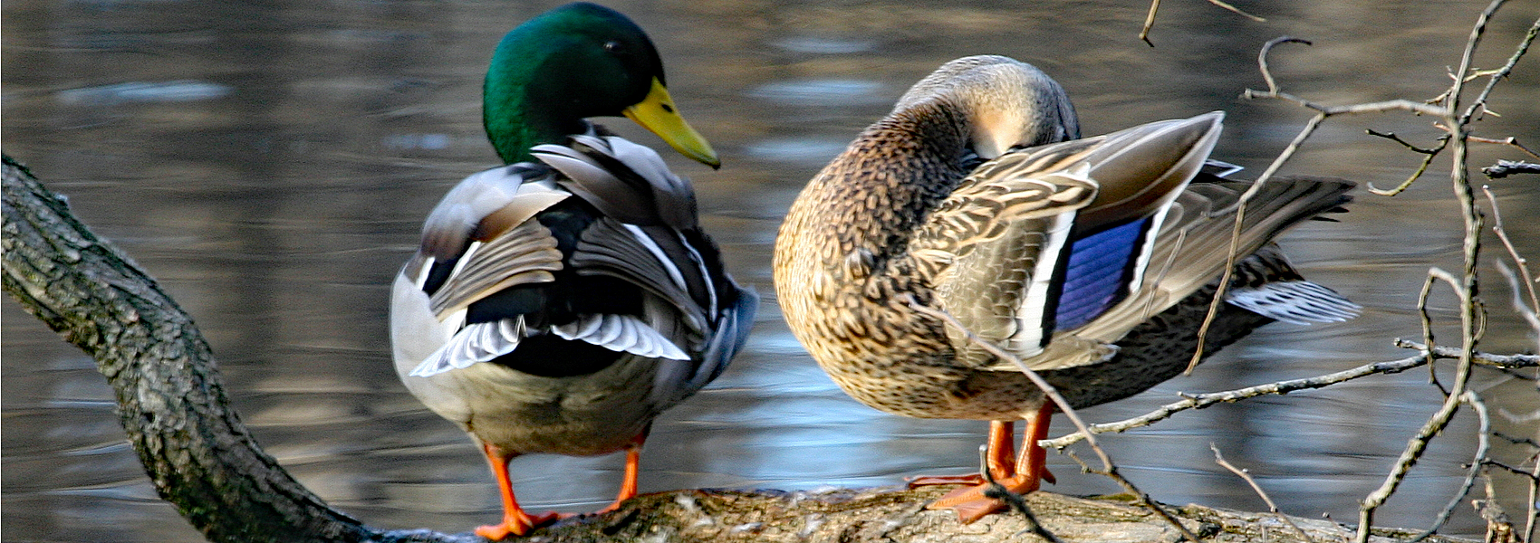 A pair of mallards stand next to the waters of Hidden Pond