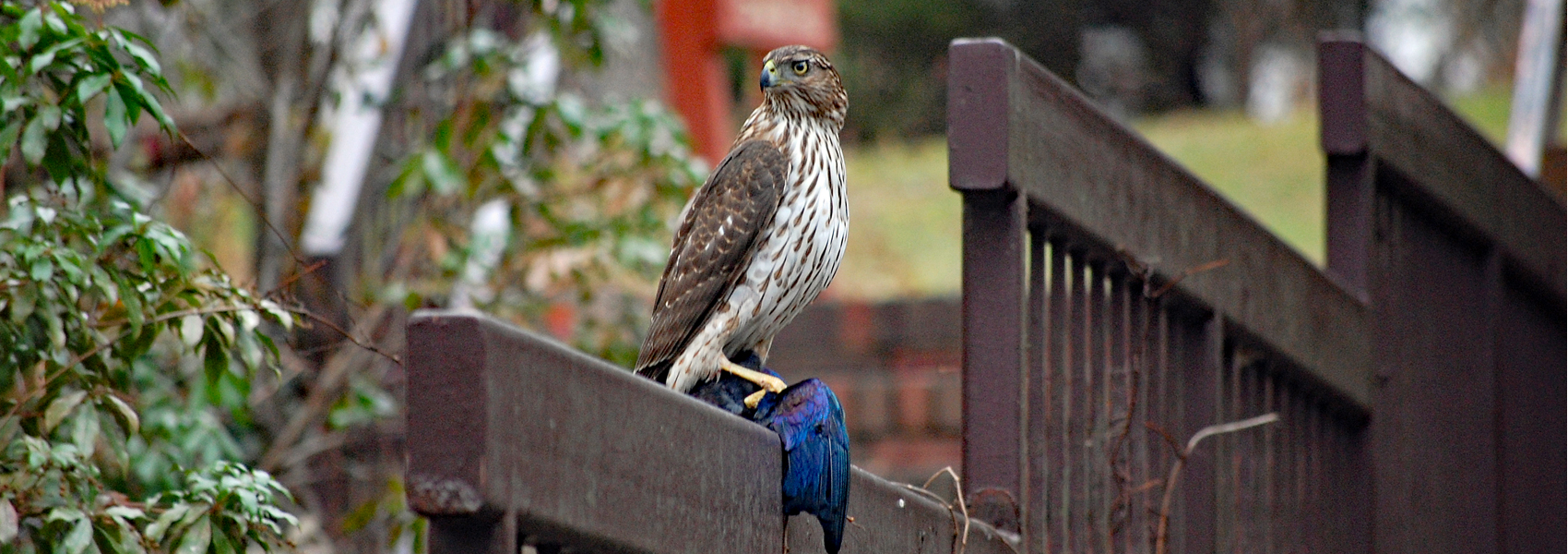 A Cooper's hawk holds a recently caught grackle