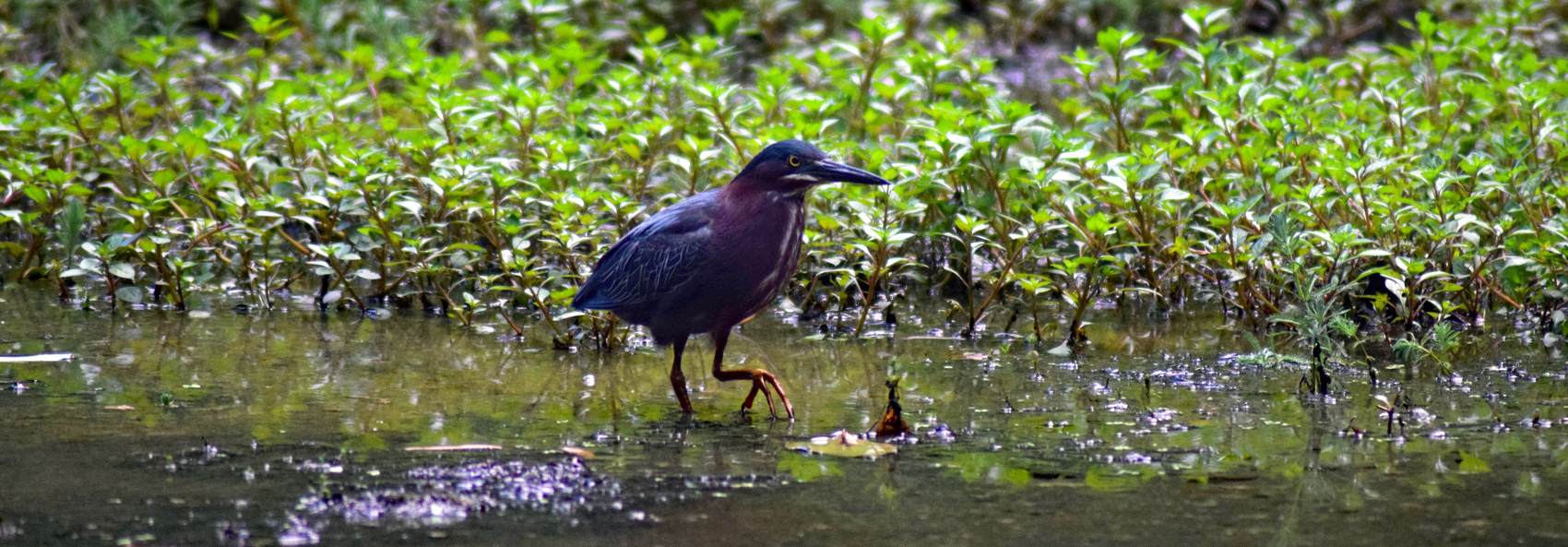 Green heron stalks prey in Hidden Pond