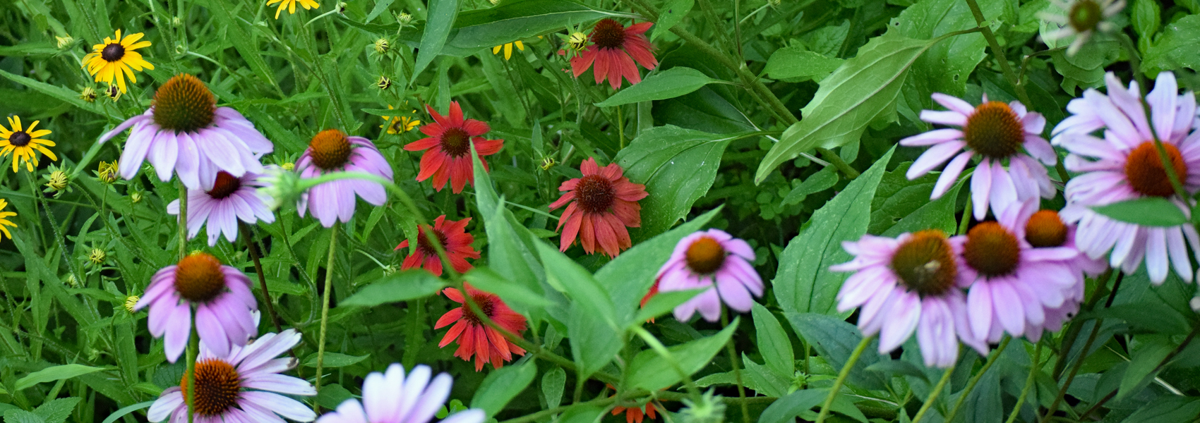 Coneflower and other wildflowers