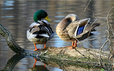 Two mallards on a log at the pond