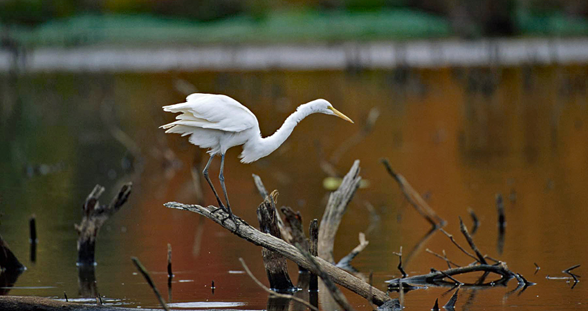 An egret balances on the branch of a log