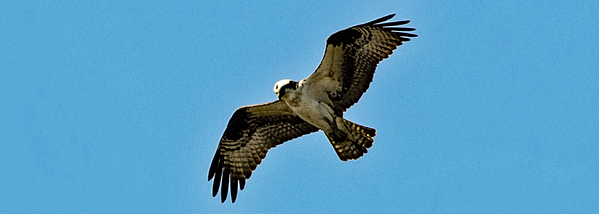 An osprey flies with wings spread in a clear sky