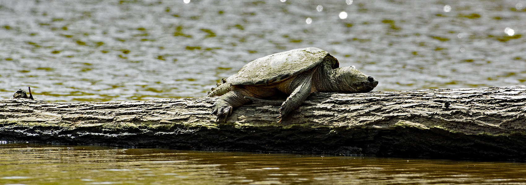 A snapping turtle lies flopped and contentedly on a log