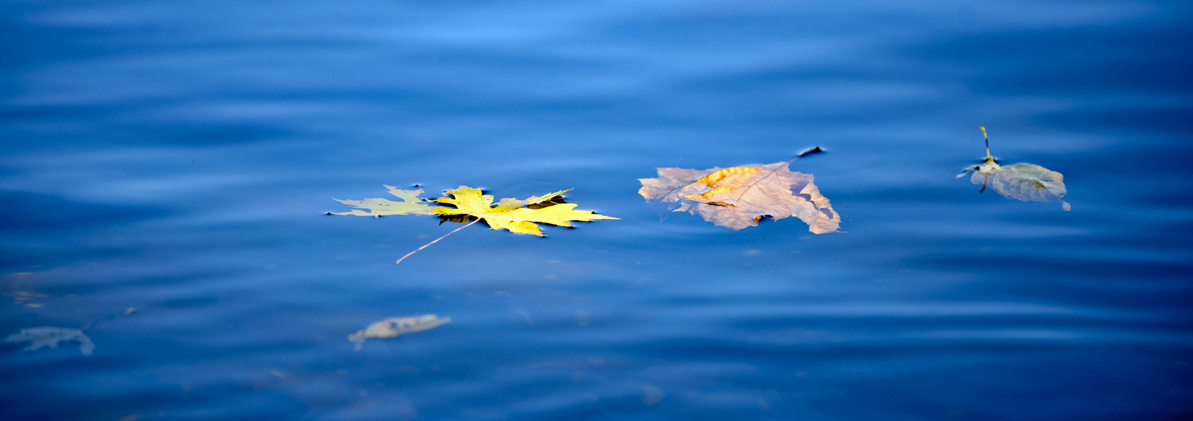 Fall leaves float on the Potomac River