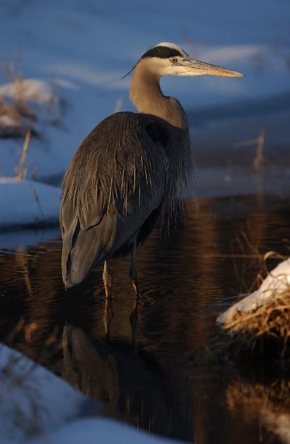 Heron at Huntley