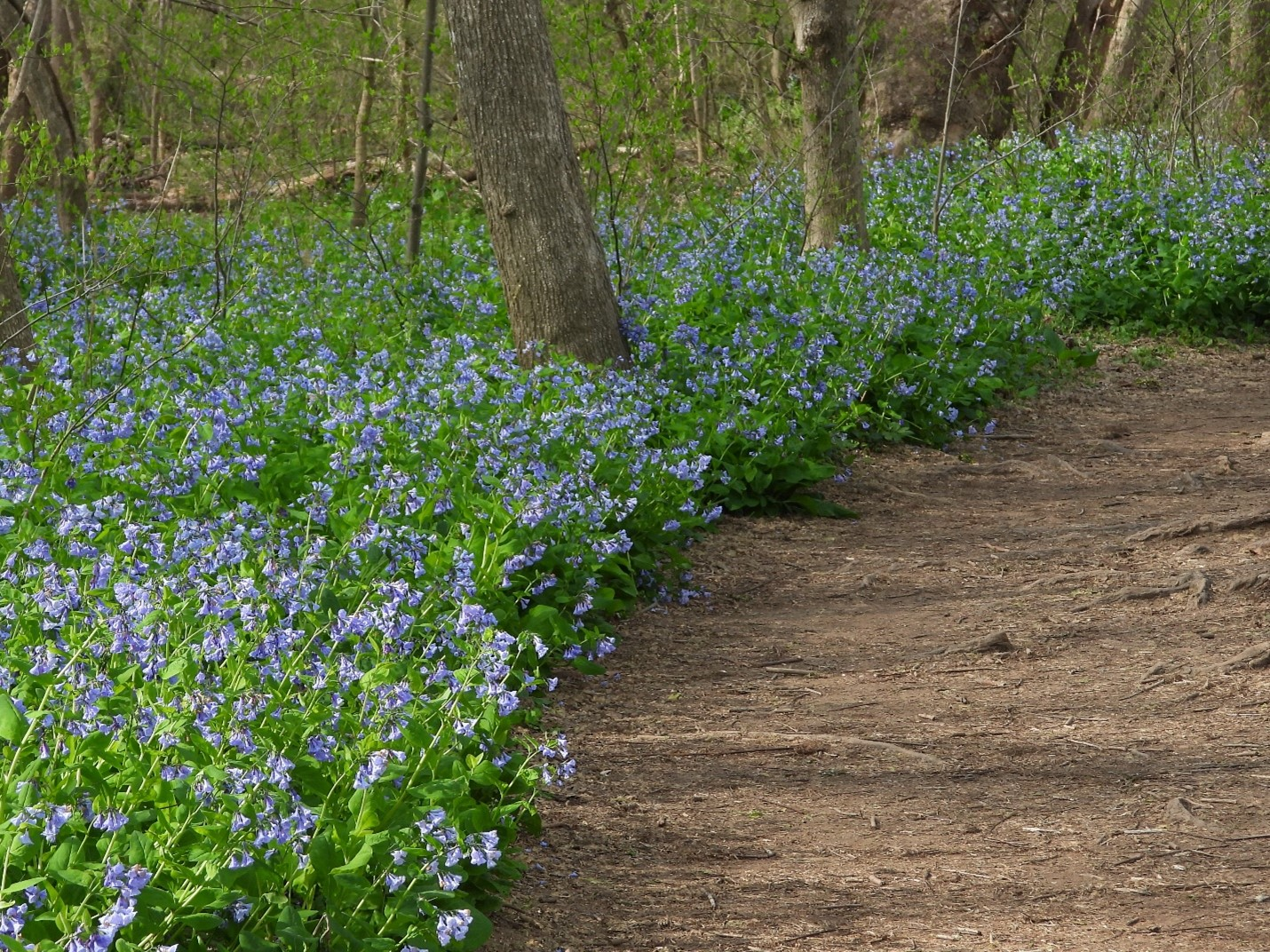 It's Time to Ooh and Aah Over The Bluebells at Riverbend