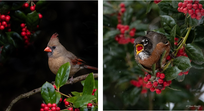 Cardinal that Could Grace a Holiday Card Shatters Instagram Records
