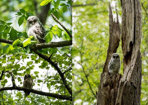 Owls at Hidden Pond