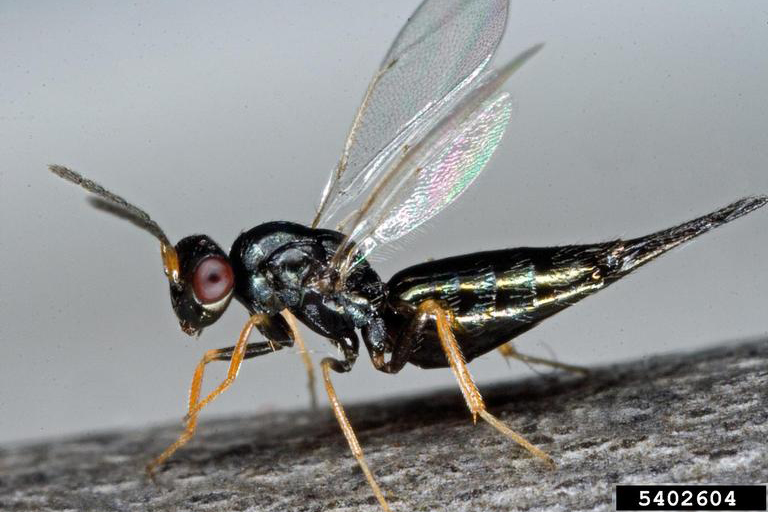 Eulophid wasp Tetrastichus planipennisi