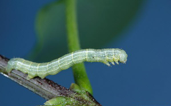 Fall Cankerworm