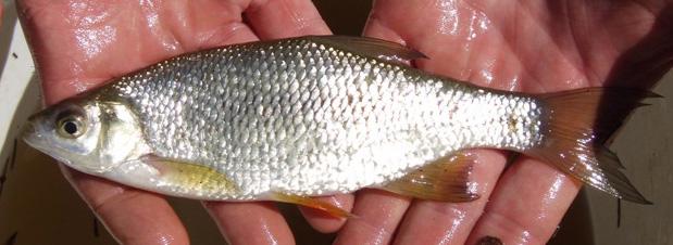 GOLDEN SHINER - Notemigonus crysoleucas