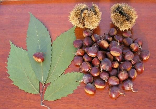 Chestnut tree - blight and restoration